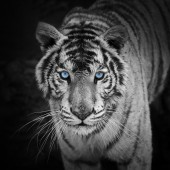 Modern Canvas Wall Art Animal White Tiger Black and White Wall Pictures Giclee Print on Canvas Stretched 24 x 24 Inch